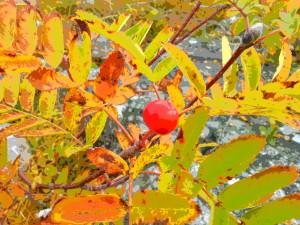 Rönnbär höst