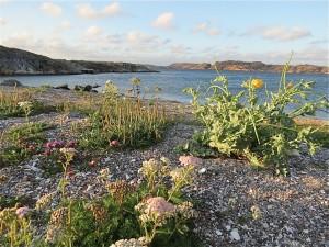 Det finns många rariteter i växtväg vid Mittsundsviken. Här blommande strandvallmo. Hittills i år har det blommat cirka 20 ex på platsen. 28 augusti 2015. Foto: Ingemar Jonasson